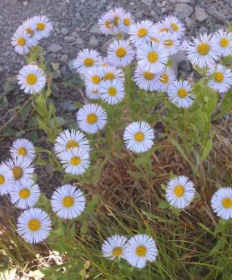 Hiking Daisies