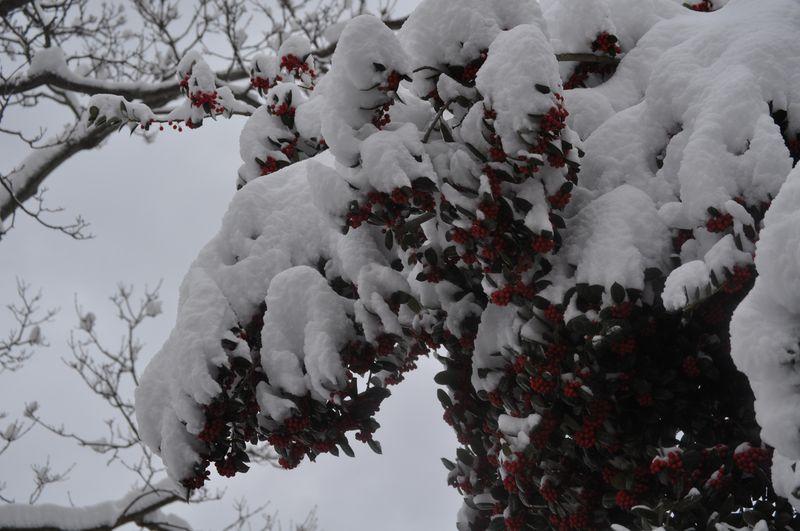 Christmas Snow Berries