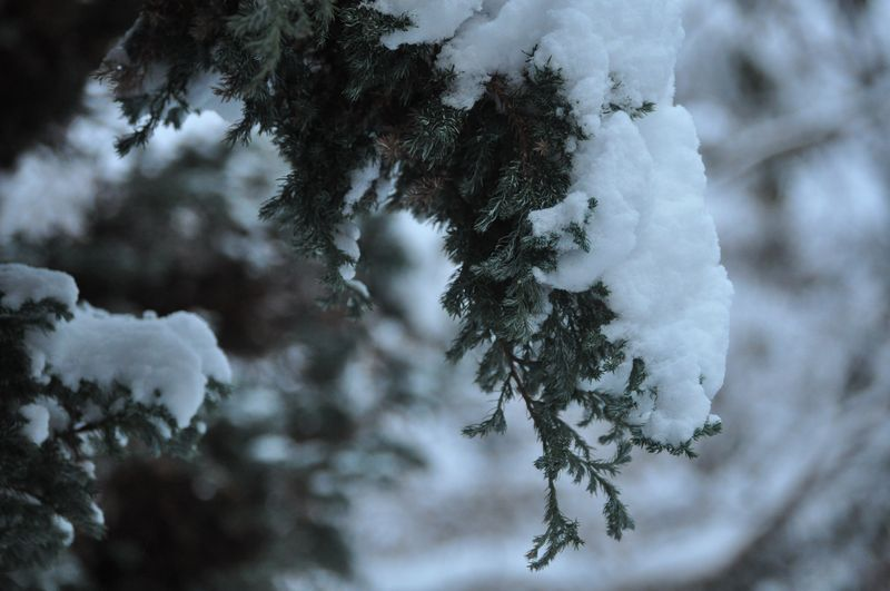 Christmas Snow evergreen