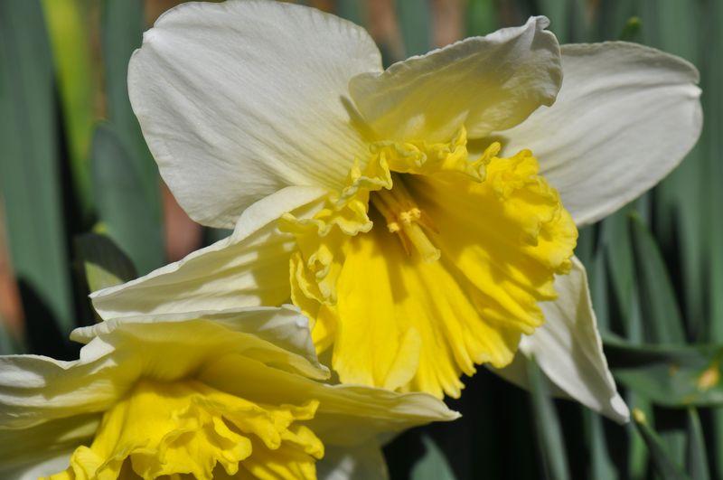 Spring daffodil 02