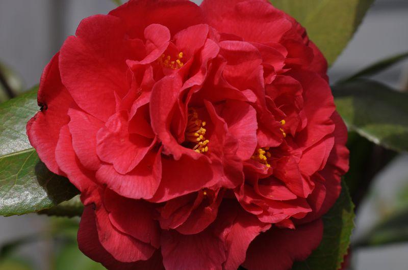 Goodbye poplar lawn camellia