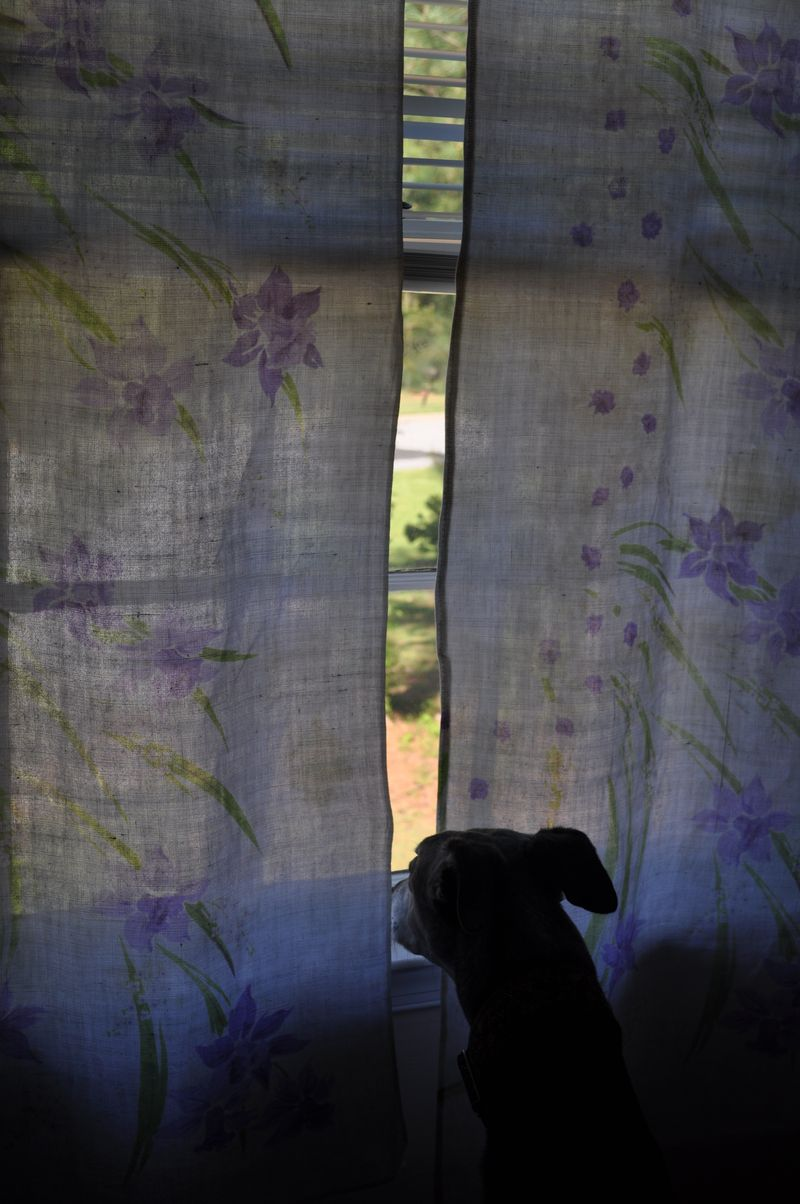 Curtains dog